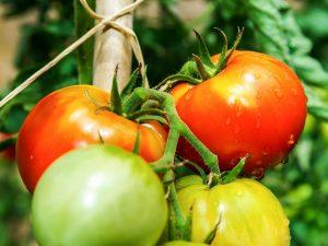 Выращивание томата Деревенский