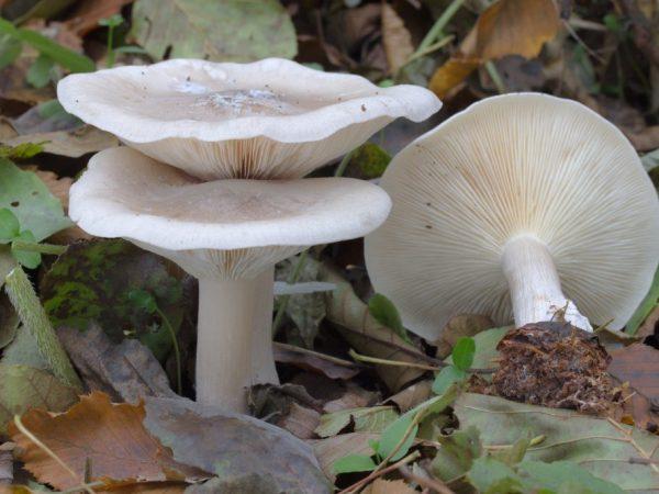 Говорушки — популярные разновидности грибов