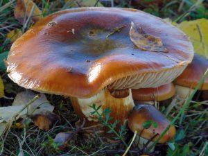 Валуй — условно-съедобный представитель грибного царства
