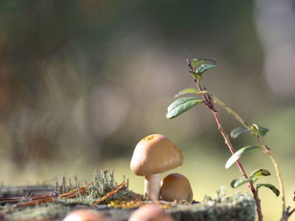 В пищу пригодны молодые грибочки