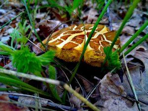 Грибы Козлята — вкусовые качества и сферы применения