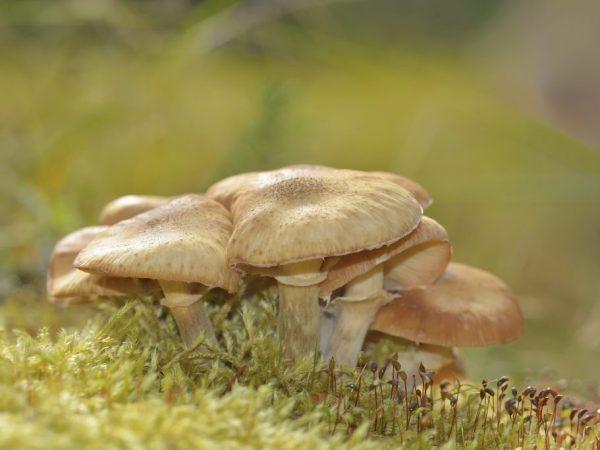 Опята луговые: вкусные грибочки