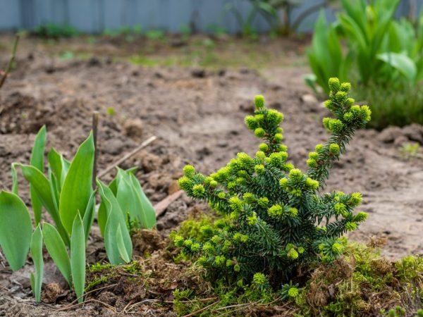 Корейская пихта Бриллиант — самый красивый мини-кустарник