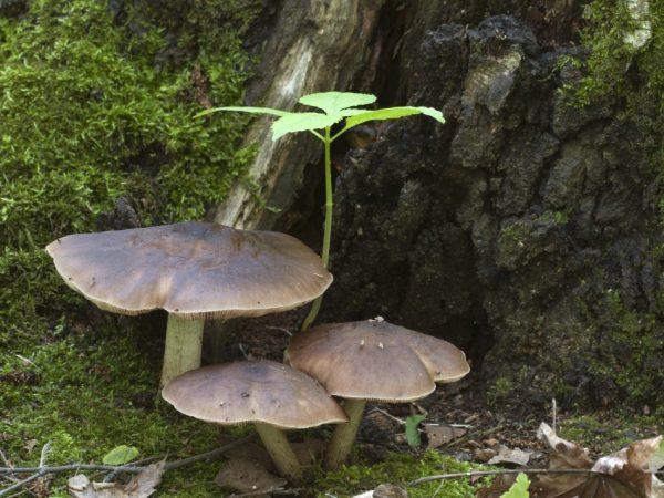 Олений гриб — где растет, как готовить
