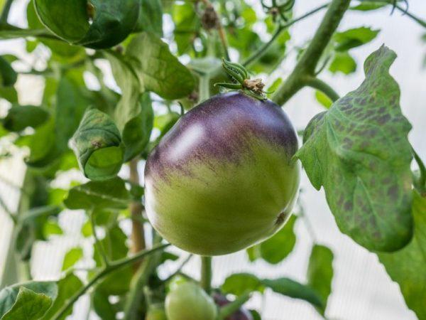 Плоды отличаются отличным вкусом