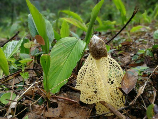 Сетконоска сдвоенная — необычный и редкий гриб