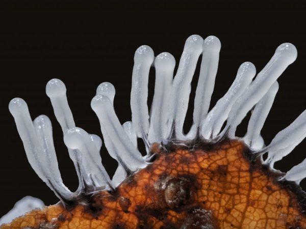 Слизевик — удивительный гриб, умеющий ходить