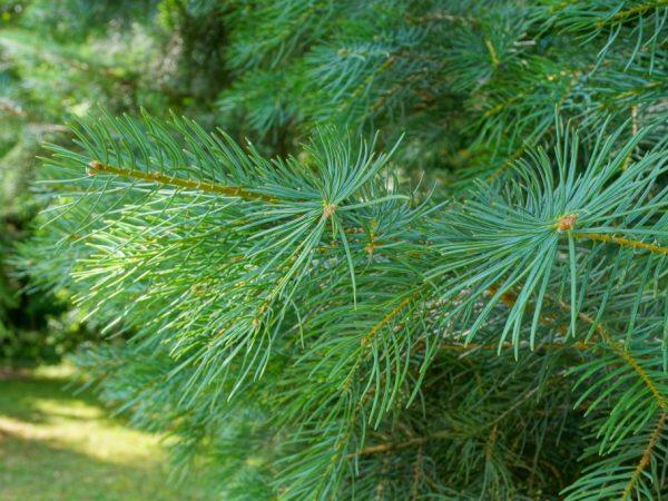 Сосна шверина Витхорст — вечнозеленая красавица в саду