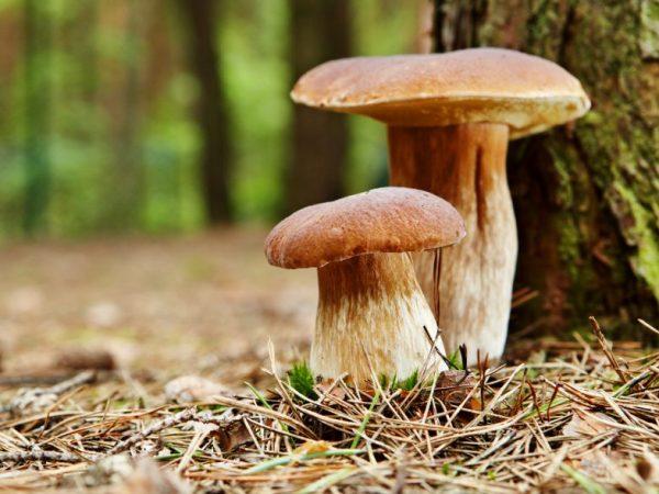 Белый гриб можно встретить в любом лесу