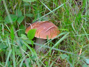 Царский гриб боровик
