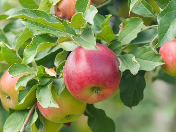 Список витаминов в яблоках