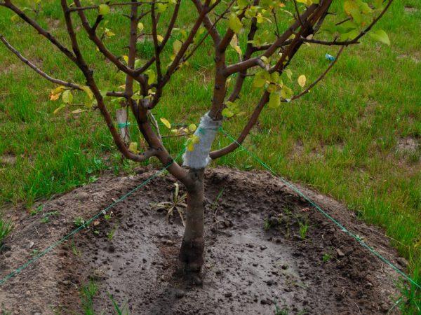 Как прививать яблоню — простая инструкция