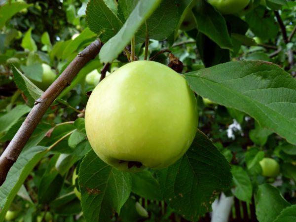 Вкус яблок напоминает грушу