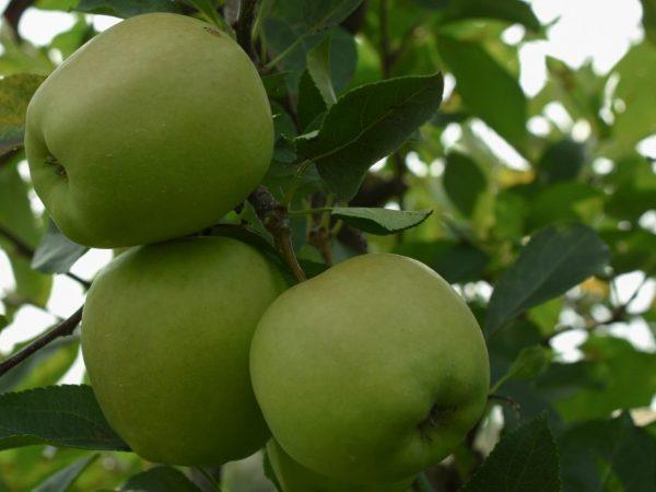 Плоды очень сочные