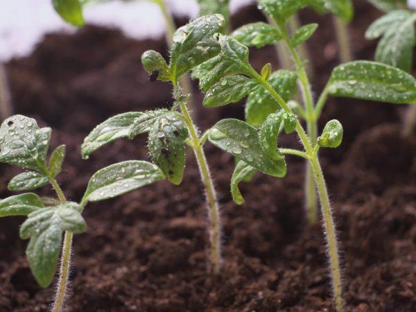 Для томатов важно качество грунта