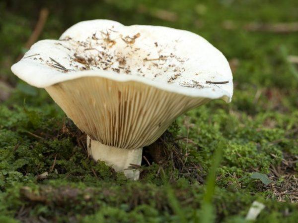 Шляпка может вырастать в диаметре до 18 см