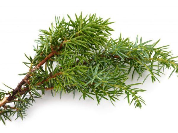Черенковать растение можно весной или осенью