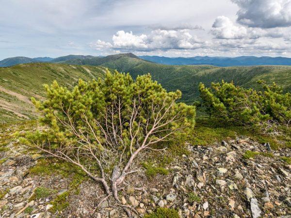 Дерево успешно размножается отводками