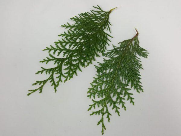 Размножать растение черенками проще всего