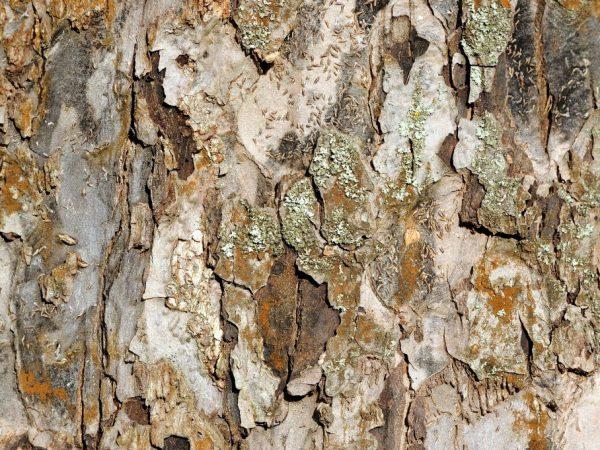 Вредители могут уничтожить дерево