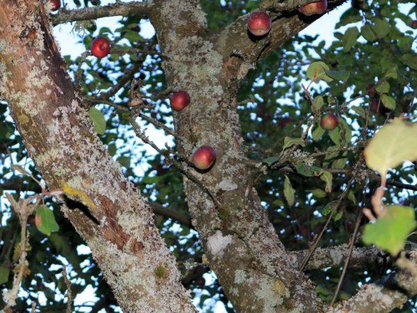 Как бороться с короедом на яблоне — советы садоводов
