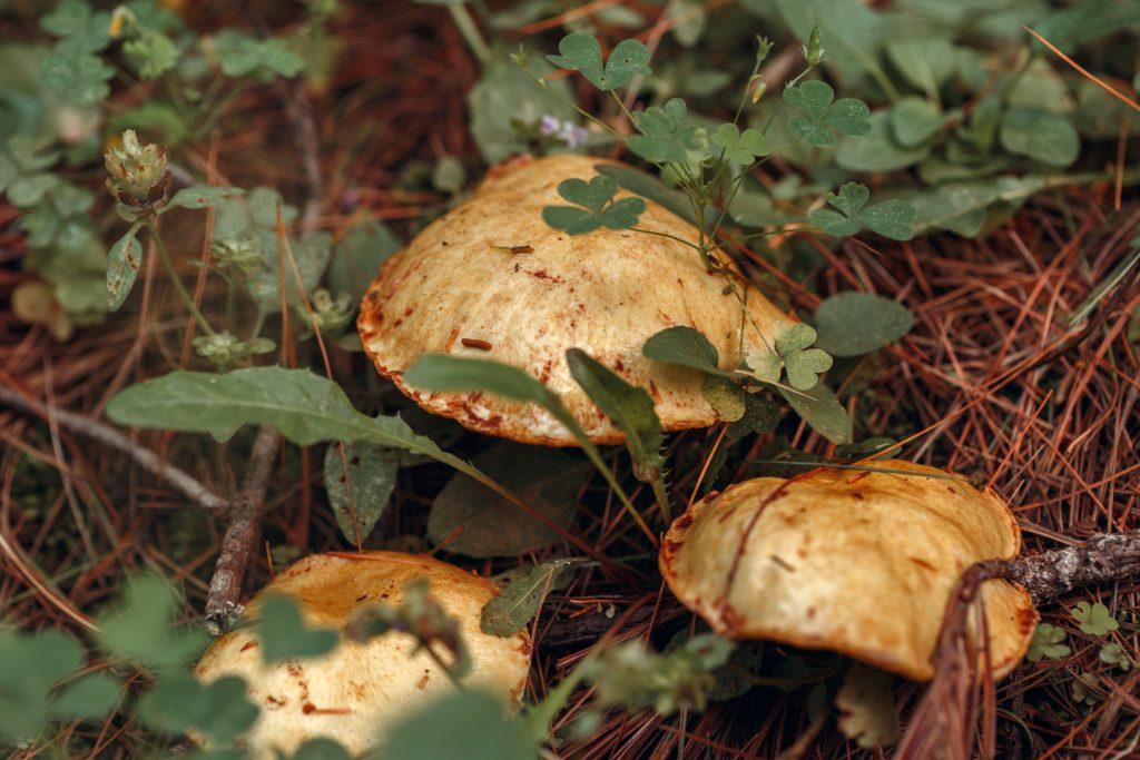 Съедобные грибы кемеровской области фото описание