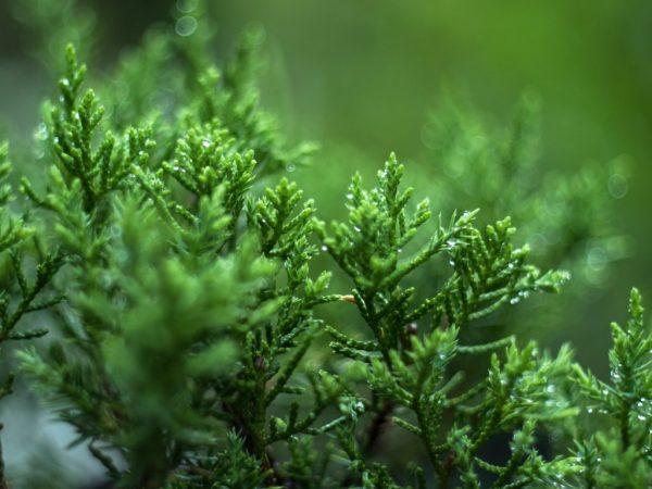 При хорошем уходе растение редко болеет