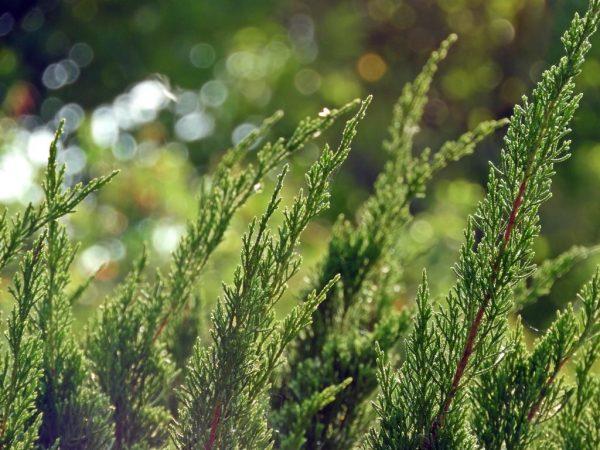 Молодое растение нуждается в регулярном поливе