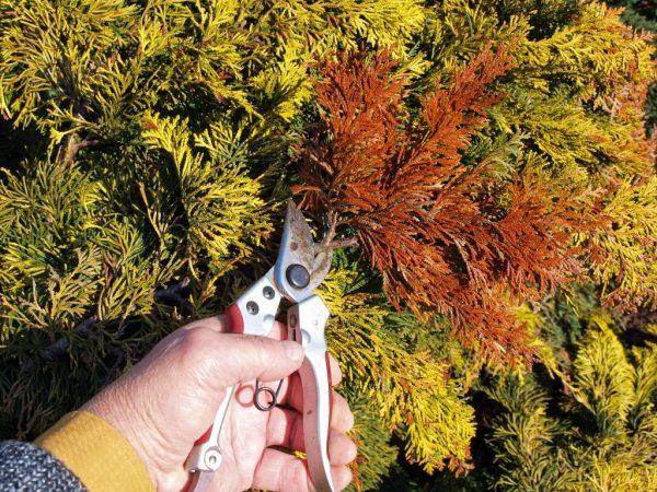 Больные части растения нужно удалять