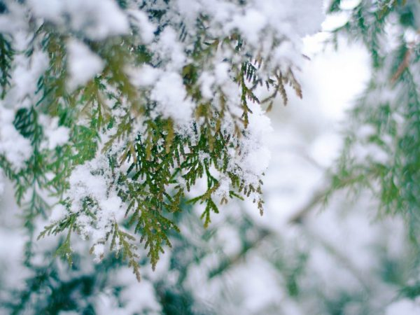 Растение плохо относится к влаге