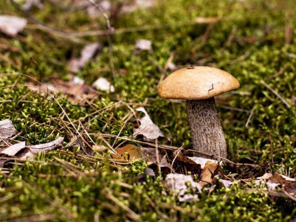 Собирать желательно молодые грибочки