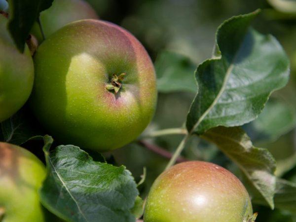 Регулярное употребление яблок улучшает состояние волос