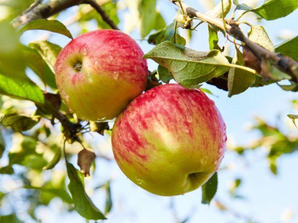 Польза яблок для женщин — какой сорт выбрать