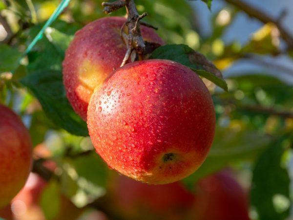 Урожай можно хранить в свежем виде до февраля