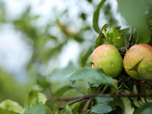 Сорт Имрус отличается более ранним плодоношением