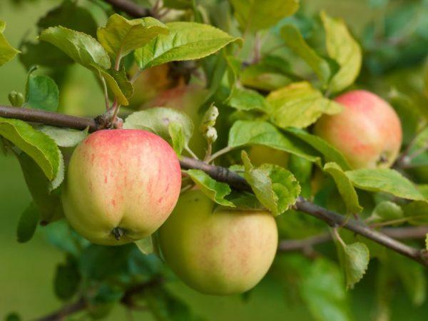 Красивые и вкусные яблочки