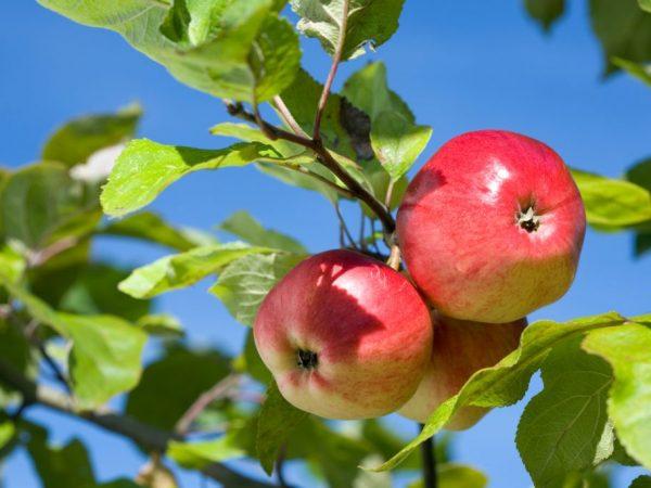 Сладкие сорта яблок — обзор разновидностей