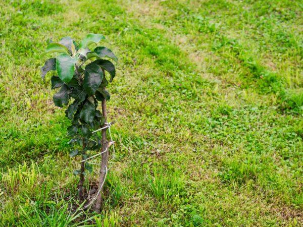 Яблоня растет не сильно высокой