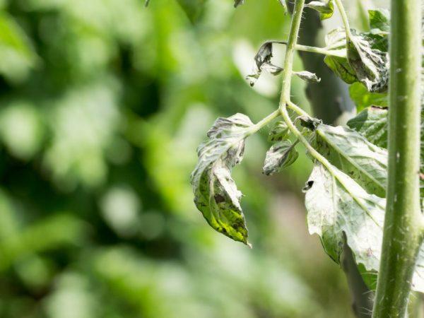 Растение может заболеть при неправильном уходе