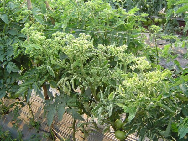 Проблемы тепличных помидоров: почему скручиваются листья