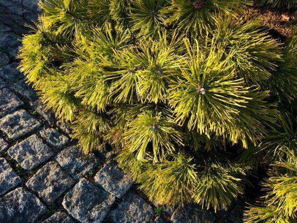 Сосна горная Винтер Голд — секреты ухода за хвойником