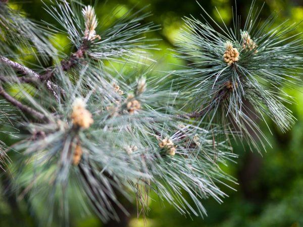 Дерево успешно размножается черенками