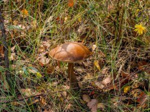 Трубчатые грибы: популярные разновидности