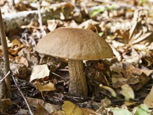 Распространенные грибы в Дмитровском районе