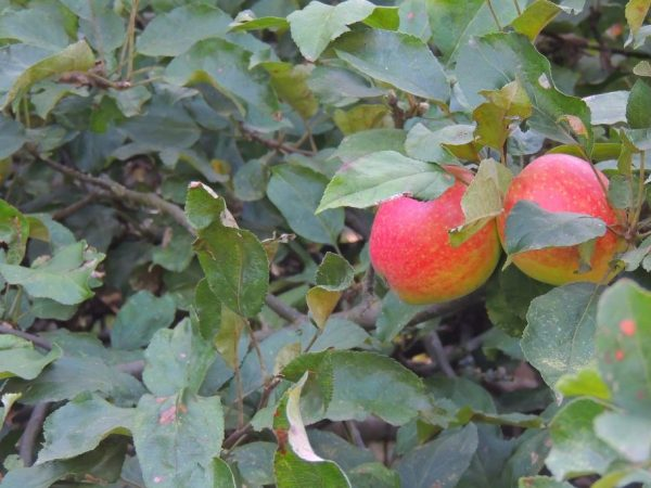 Яблоня Анис — описание, посадка и уход