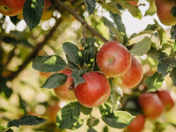 Яблоня должна расти на солнечной стороне