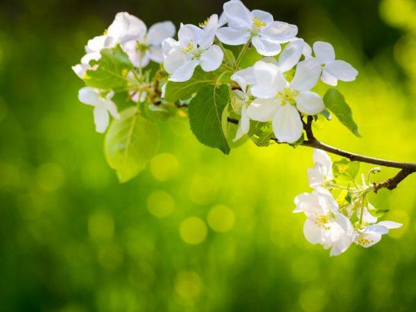 Молодое дерево лучше оставить без плодов