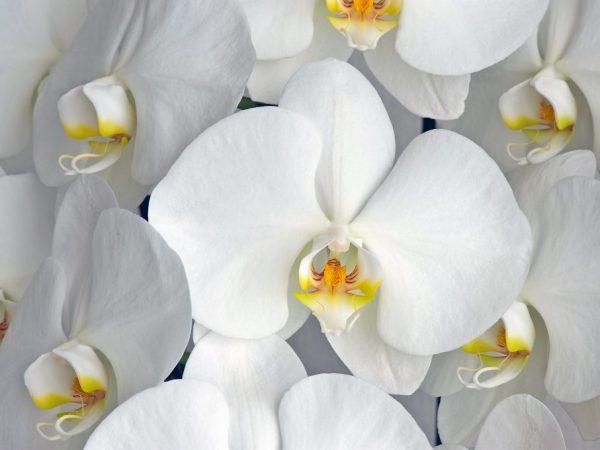 Белые сорта орхидеи — описание и правила посадки
