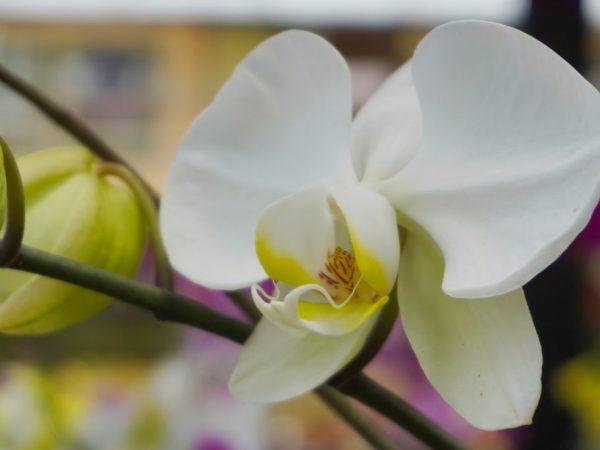 Орхидею можно размножать в домашних условиях