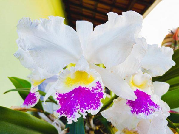 Королевская орхидея не останется незамеченной